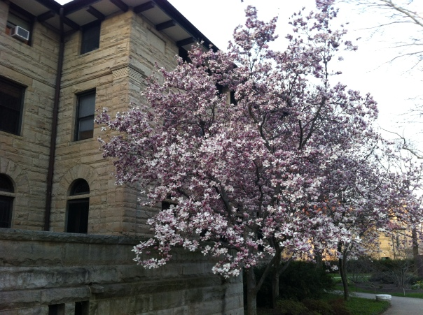Flowering trees at Wilder Hall, Oberlin College 2013.