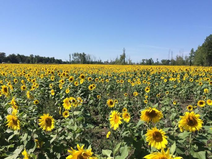 Field of sunflowers in Avon